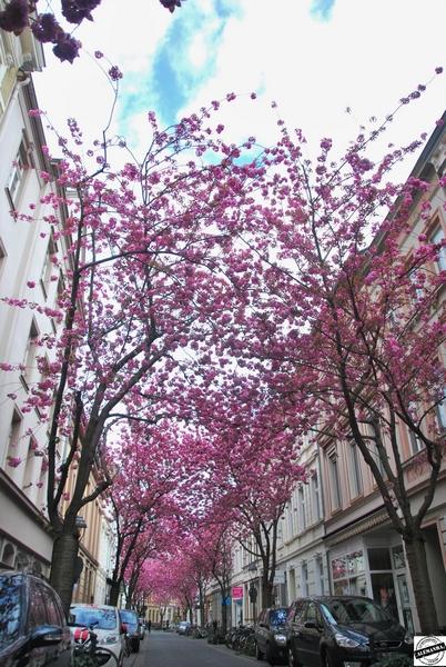 Kirschblüten - Flor de Cerejeira
