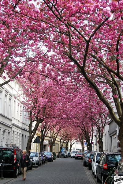 flores de cerejeira em Bonn