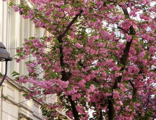 Flor de cerejeira de Bonn