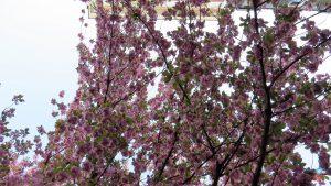 Cerejeiras de Bonn